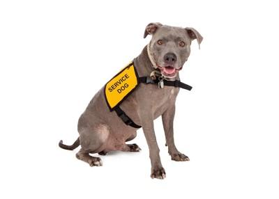 サービスドッグのベストを着た犬