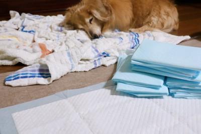 トイレシーツの横にある布の上で寝ている犬