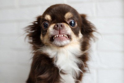 歯を見せて威嚇するチワワ