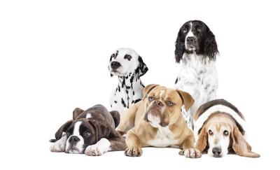 様々な外見の垂れ耳の5匹の犬