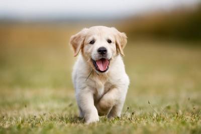 芝生を走る子犬
