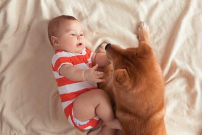寝ている赤ちゃんに寄り添う柴犬