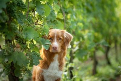 ブドウ畑の中の犬