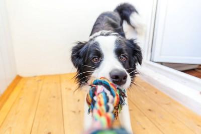 ロープのオモチャで遊ぶ犬