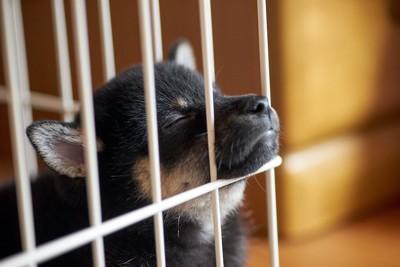 目を閉じてケージの隙間から鼻を出す犬