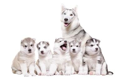 ハスキーの母犬と子犬たち