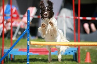 ハードルを跳ぶ犬