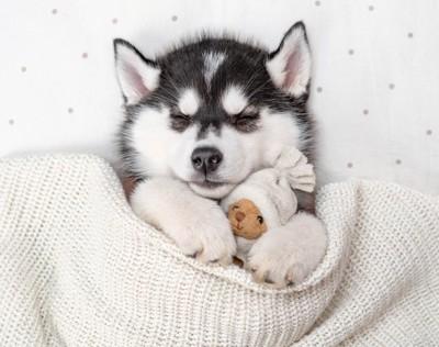 眠るハスキーの子犬
