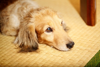 畳の上でリラックスする犬