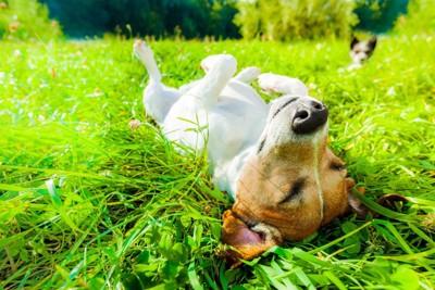 芝生で寝ている犬