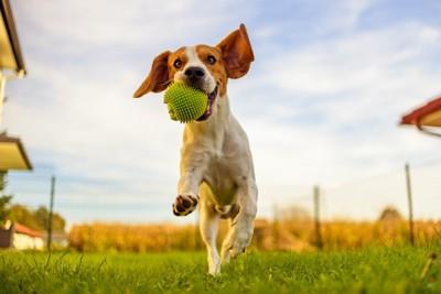 ボールを咥えて走るビーグル犬