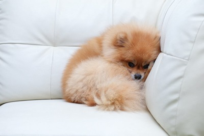 ソファーの端でキュッと丸くなるポメラニアン