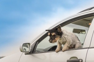 車から脱走しようとする犬