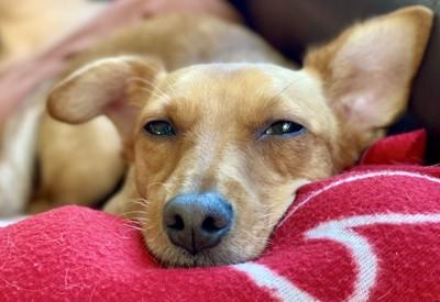 ブランケットの上で眠そうな茶色の犬