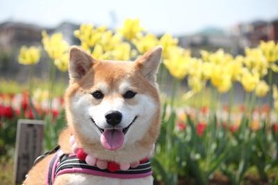 メスの柴犬