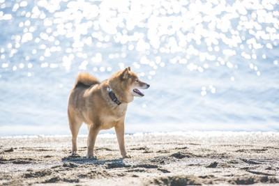 柴犬と海 133165302