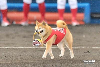 02.ベースボール犬わさび