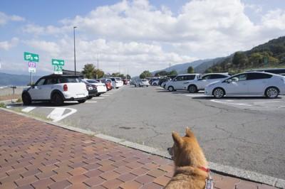 柴犬と駐車されたたくさんの車