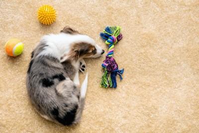 カーペットの上で眠る犬とオモチャ