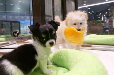 ペットショップにいる2匹の子犬