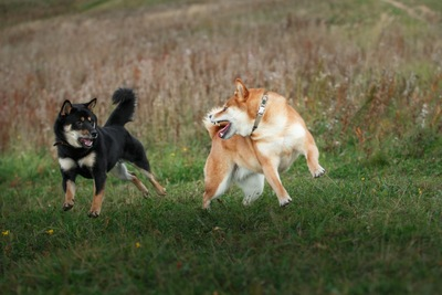 柴犬のオスとメス