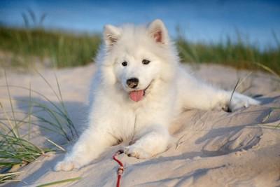 砂浜のサモエド犬