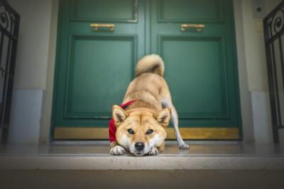 ドアの前で待ち構える犬