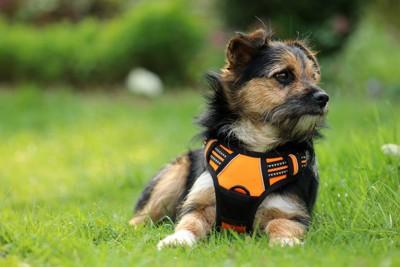 オレンジのハーネスを着けた犬