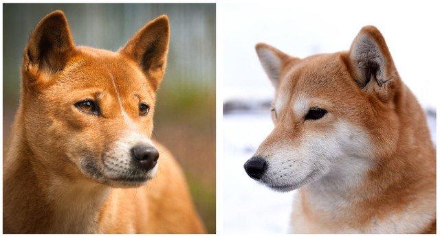 ディンゴと柴犬