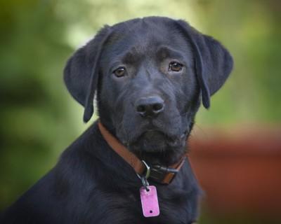 首輪にネームタグをつけている黒い犬