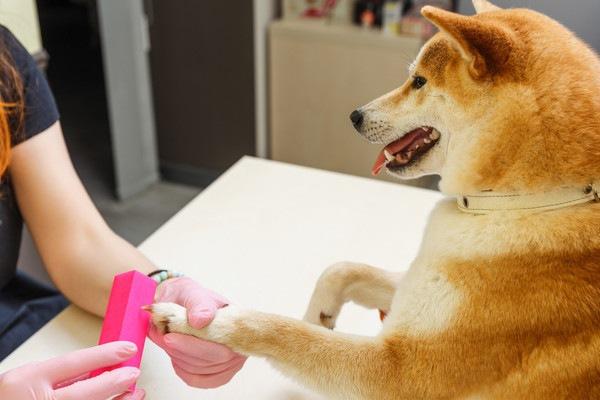 爪やすりされる柴犬