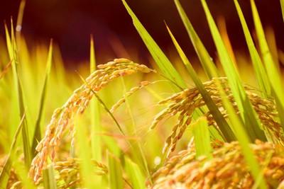 玄米の稲穂