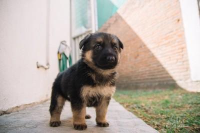 シェパードの子犬