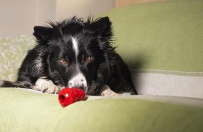 ソファーの上でコングで遊ぶ犬