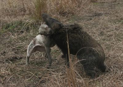 牧羊犬】【写真3:盲導犬
