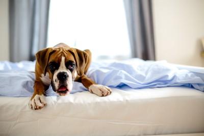 ベッドから睨む犬
