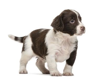 イングリッシュスプリンガースパニエルの子犬