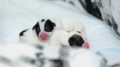 ブランケットの上の生まれたての子犬たち