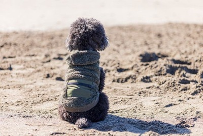 湘南の海岸でお座りをして海を見つめるトイプードル