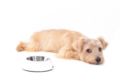 ごはん皿の横に伏せる犬