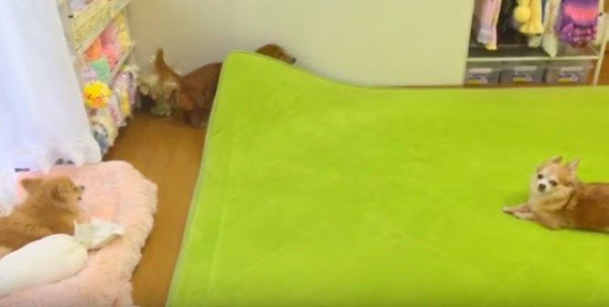 カーペットの下を探す犬