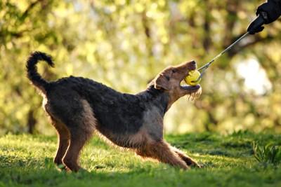 黄色い玉のついたおもちゃをくわえて引っ張る犬