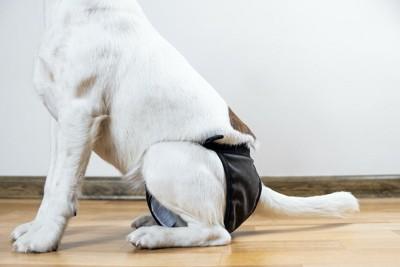 マナーパンツをはいて座っている犬のお尻