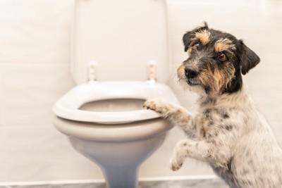 人用のトイレで便器に手をかける犬