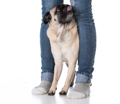 人の両足の間に挟まるパグ