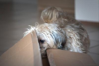 ダンボールを覗く犬