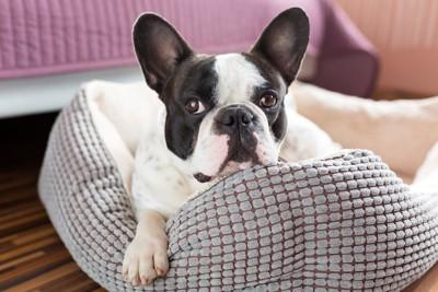 犬用ベッドから手を出すフレブル