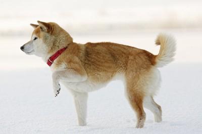 雪上で片足をあげている犬