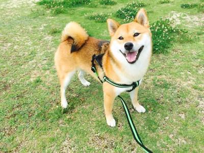 芝生に立つリードをつけた柴犬