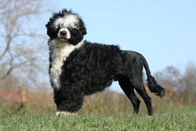 泳ぎが得意な犬のポーチュギーズ・ウォーター・ドッグ